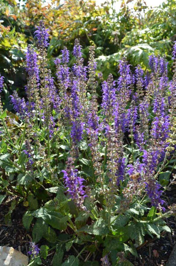 Salvia nem 'Mainacht'