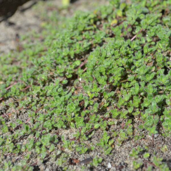 Gråtimjan Thymus pseudolanoginosus