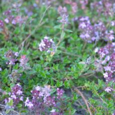Backtimjan Thymus serphyllum