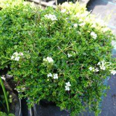 Backtimjan Thymus serphyllum 'Albus'